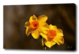 Narcissus Red Devon 04