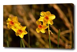 Narcissus Red Devon 05