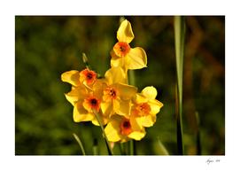 Narcissus Red Devon 06