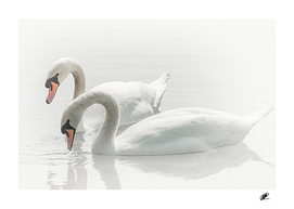 Swangs couple on the lake original photo