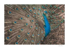 Gorgeous Peacock closeup Outdoor Toned