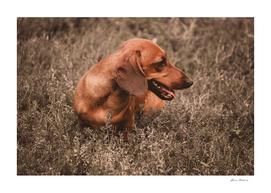 Photo Dog Dachshund Closeup on Nature