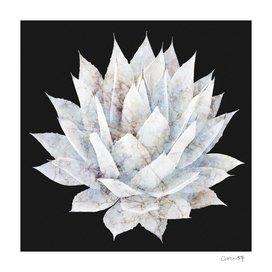 White Marble Agave Plant