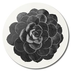 Black Marble Succulent Plant