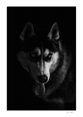 Husky portrait on black background