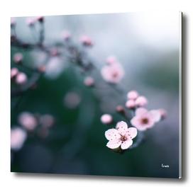 cherry blossom moments II