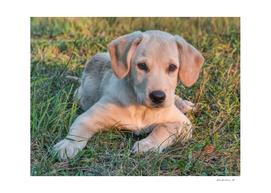 Labrador puppy on a grass