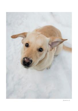 Labrador puppy in a snow