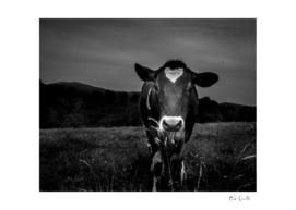 Romantic Cow After Dark