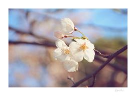 AFE Sakura Cherry Blossoms