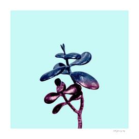 Galaxy Succulent Plant