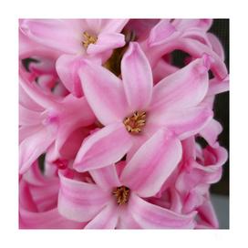 pink hyacinth flower