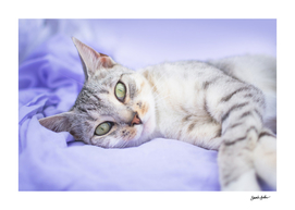 Silver tabby cat on purple blanket