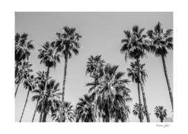 Sabal palmetto I