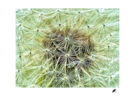 Dandelion macro shot pastel colors