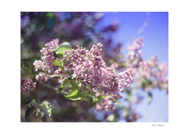 Flowers Lilac Branch Close-up Outdoors Sunny Day