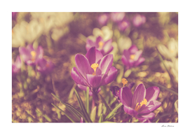 Flowers Crocuses Violet Close-up Spring Matte
