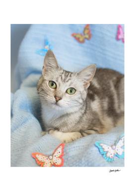 Grey kitten with butterflies