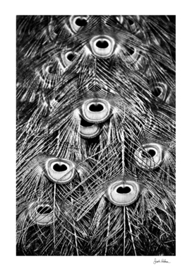 Peacock Feathers in Black and White