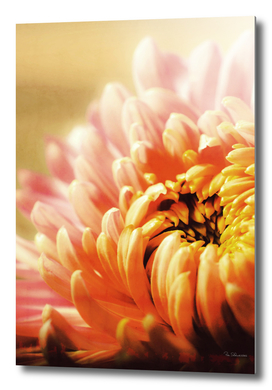 CHRYSANTHEMUM YELLOW v1