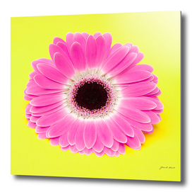 Pink Flower on yellow