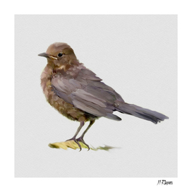 Bird: Young Blackbird c
