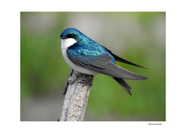 Male Tree Swallow II