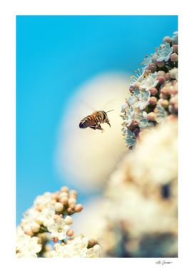 Bee flying on white flowers