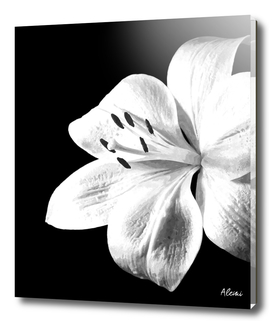 White Lily Black Background