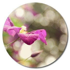 AFE Purple Clematis