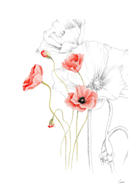 poppies, graphics and color