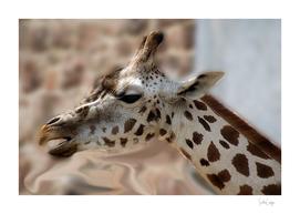 Side Portrait Of A Giraffe.
