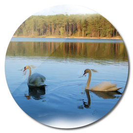 A pair of a beautiful swans swimming in the lake