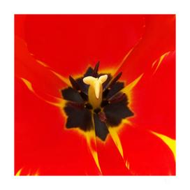 red yellow tulip