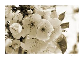 Mono blossoms