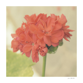 Geranium Close-up