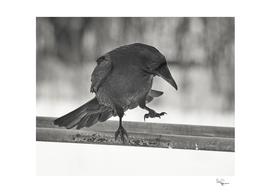 Raven Boogie