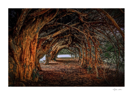 1000 year old yew tree at Aberglasney gardens