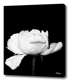White Peony Black Background