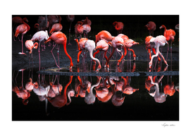 Flamingos reflections