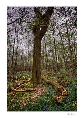 Cut Tree Among Bluebells