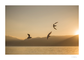 Three seagulls over a lake
