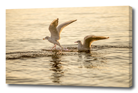 Two seagulls on a lake