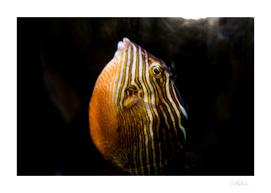 Puffer fish rising