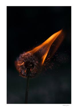 Fire dandelion