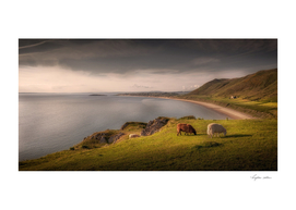 Sheep at Rhossili bay