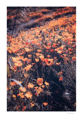 poppy flower field