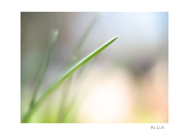 A Single Chive