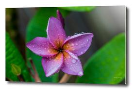 Rainy Day Frangipani