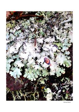 Hawaiian Lichen